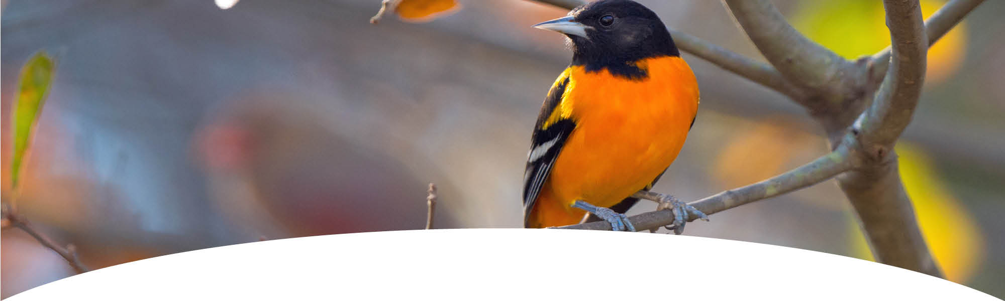 Contact us - Oriole sitting on a branch